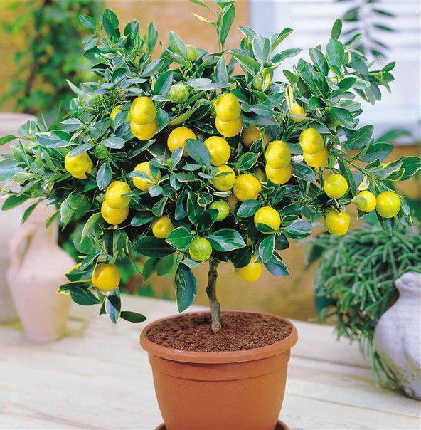 Лимон сорт Майкопский