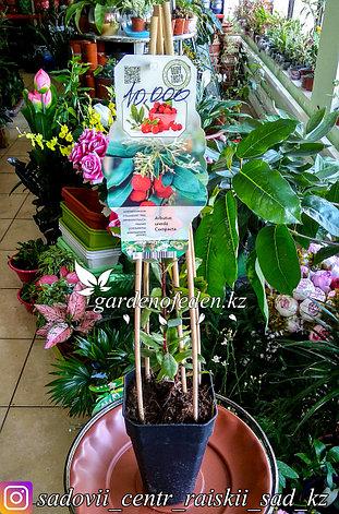 """Земляничное дерево """"Арбутус"""" (Arbutus unedo), Сорт: Compacta., фото 2"""