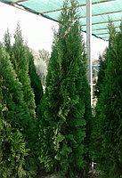 Туя 1,7м - для озеленения - доставка