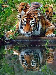 "Картина по номерам ""Тигр у воды"""