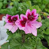 Catford Belle / подрощенное растение, фото 2