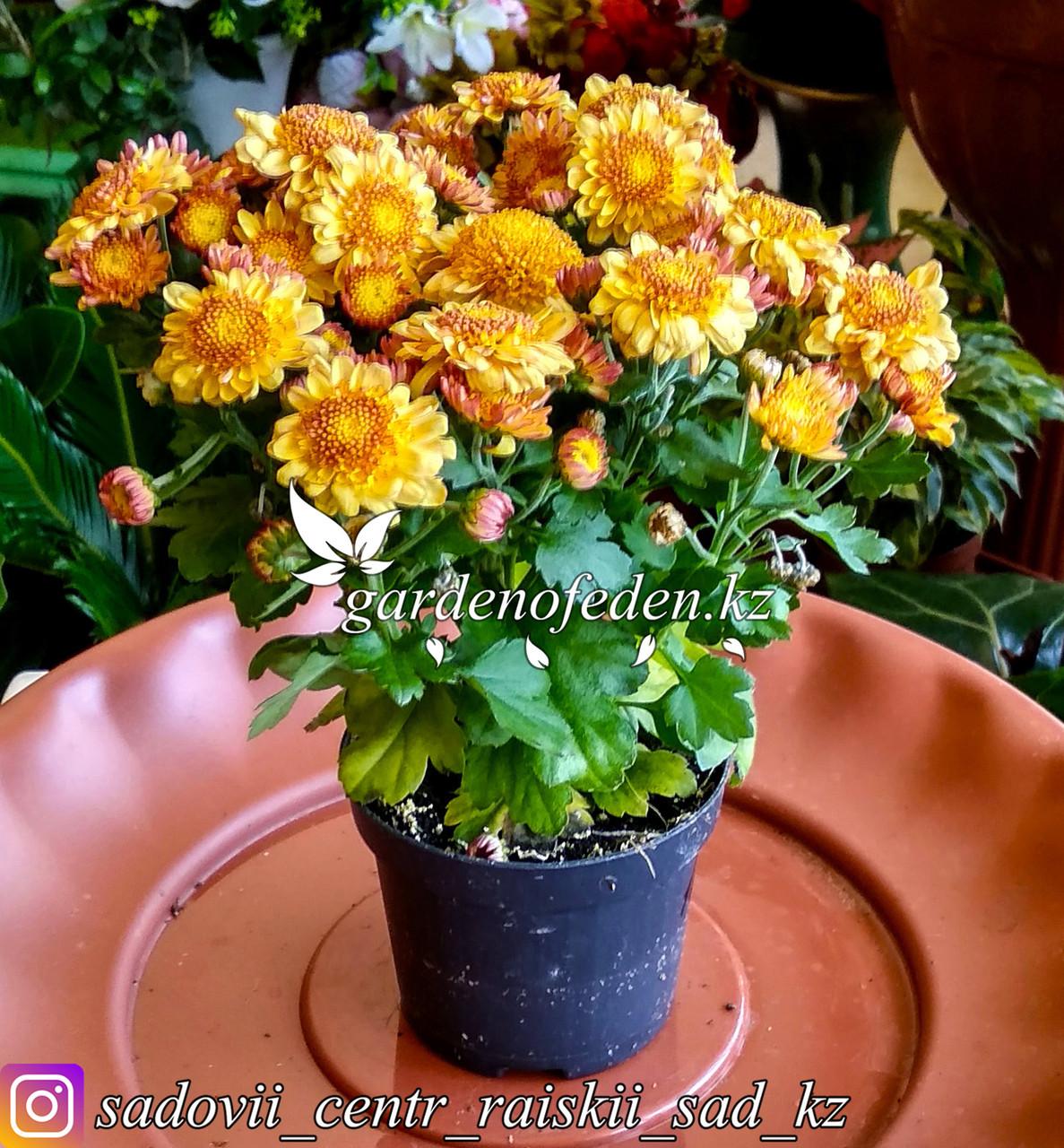 Хризантема (в пластиковом транспортировочном горшке)