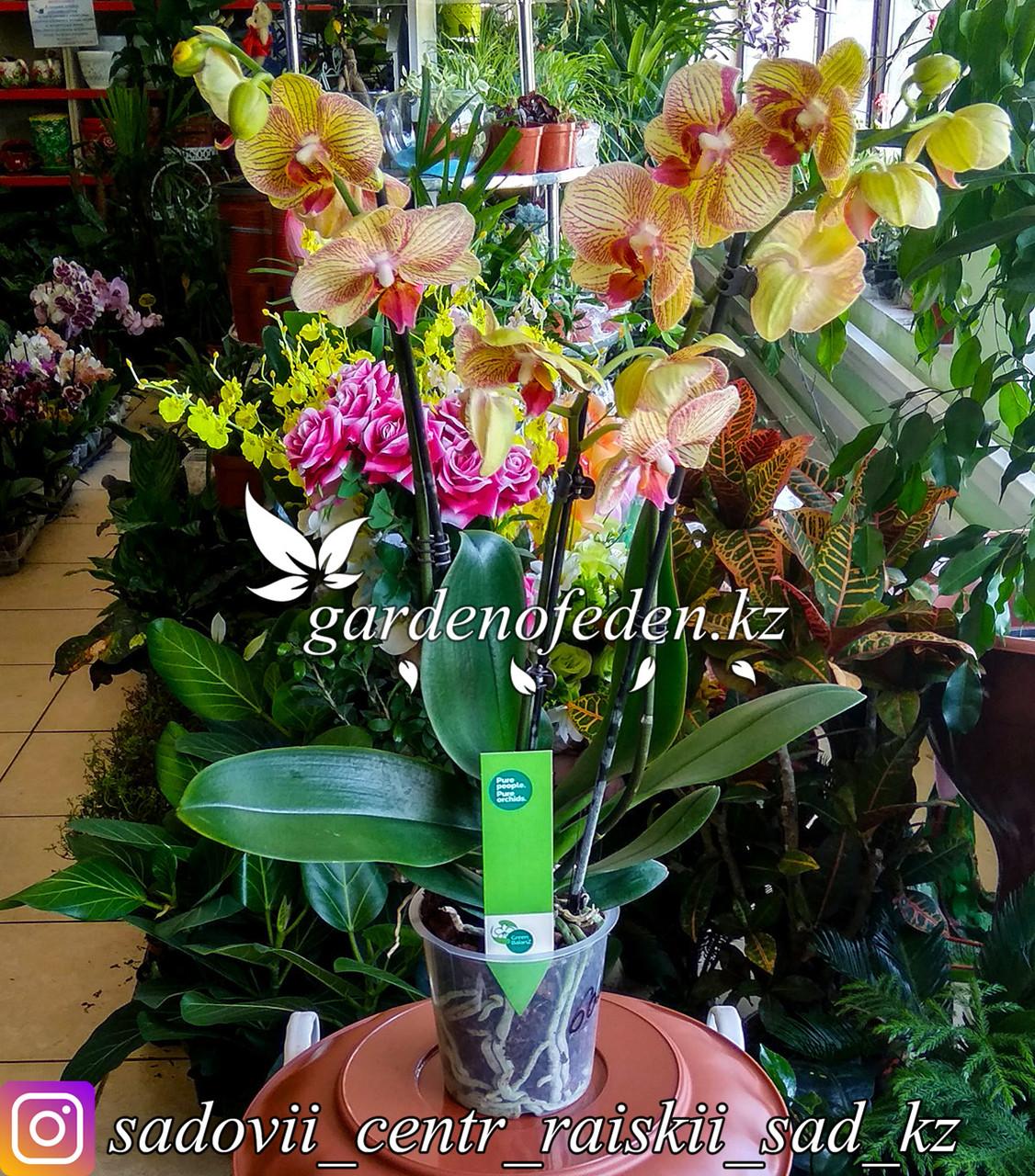 """Орхидея """"Фаленопсис"""" (в пластиковом транспортировочном горшке)"""