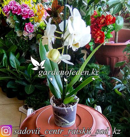 """Орхидея """"Фаленопсис"""" (в пластиковом транспортировочном горшке), фото 2"""