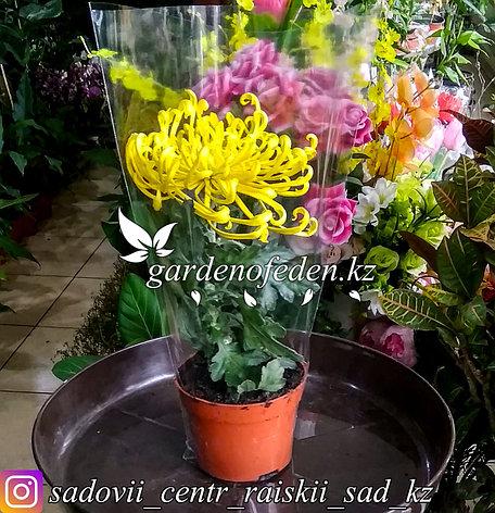 Хризантема (в пластиковом транспортировочном горшке), фото 2