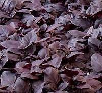 Семена Базилика Жиголо 50гр