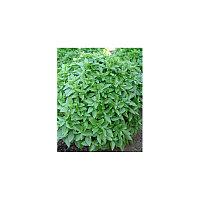 Семена Базилика зеленого Лучано 50гр