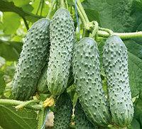 Купить Семена огурцов Мамлюк 100 шт