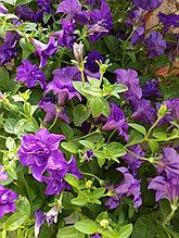 Surfinia Double Blue Star N 543 / подрощенное растение