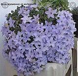 Chirillo/подрощенное растение, фото 3