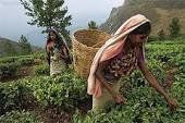 Индийский чай и кофе