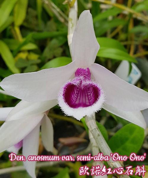 """Орхидея азиатская. Под Заказ! Den. anosmum var. semi-alba """"Ono Ono"""". Размер: 2,5""""."""