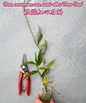 """Орхидея азиатская. Под Заказ! Den. anosmum var. semi-alba """"Ono Ono"""". Размер: 2,5""""., фото 2"""