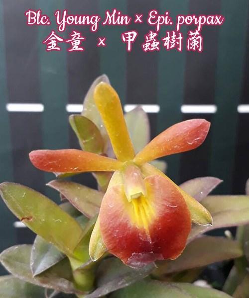 """Орхидея азиатская. Под Заказ! Blc. Young Min × Epi. porpax. Размер: 2,5""""."""