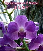 Орхидея азиатская. Под Заказ! Aer. lawrenceae × V. Sasicha. Размер: только корень.