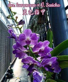 Орхидея азиатская. Под Заказ! Aer. lawrenceae × V. Sasicha. Размер: только корень., фото 2