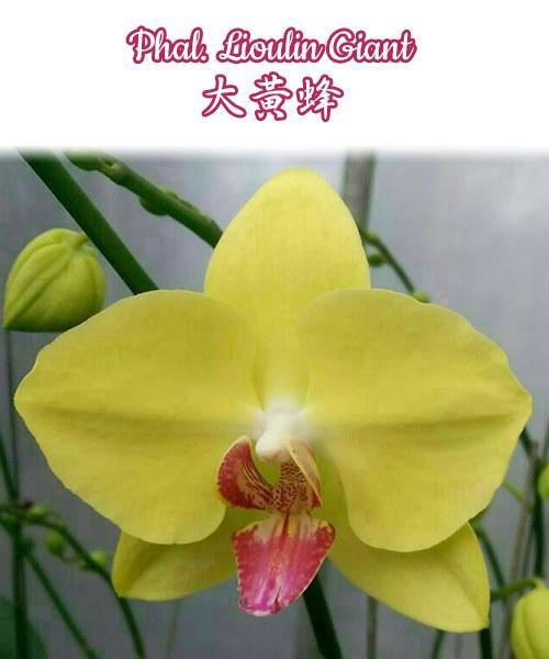 """Орхидея азиатская. Под Заказ! Phal. Lioulin Giant. Размер: 3,5""""."""
