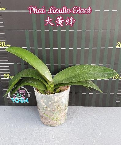 """Орхидея азиатская. Под Заказ! Phal. Lioulin Giant. Размер: 3,5""""., фото 2"""