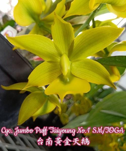 "Орхидея азиатская. Под Заказ! Cyc. Jumbo Puff ""Taiyoung No.1"" SM/TOGA. Размер: 3,5""."