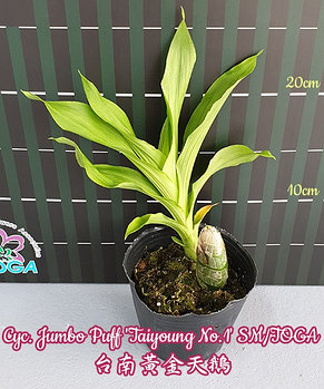 "Орхидея азиатская. Под Заказ! Cyc. Jumbo Puff ""Taiyoung No.1"" SM/TOGA. Размер: 3,5""., фото 2"