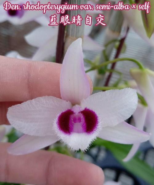 Орхидея азиатская. Под Заказ! Den. rhodopterygium var. semi-alba × self. Размер: не указан.