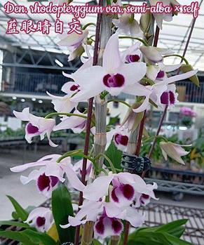 Орхидея азиатская. Под Заказ! Den. rhodopterygium var. semi-alba × self. Размер: не указан., фото 2