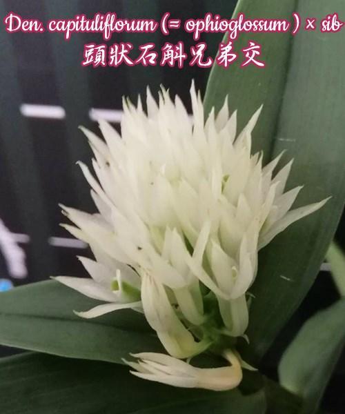 """Орхидея азиатская. Под Заказ! Den. capituliflorum (ophioglossum) × sib. Размер: 2,5""""."""