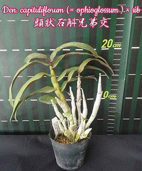 """Орхидея азиатская. Под Заказ! Den. capituliflorum (ophioglossum) × sib. Размер: 2,5""""., фото 2"""