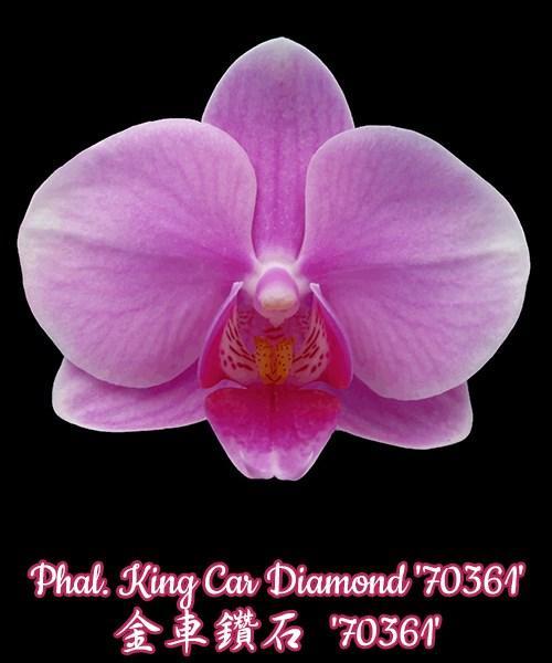 """Орхидея азиатская. Под Заказ! Phal. King Car Diamond """"70361"""". Размер: 2,5""""."""