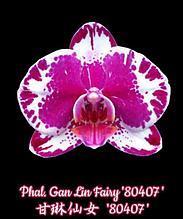 """Орхидея азиатская. Под Заказ! Phal. Gan Lin Fairy """"80407"""". Размер: 1,7""""."""