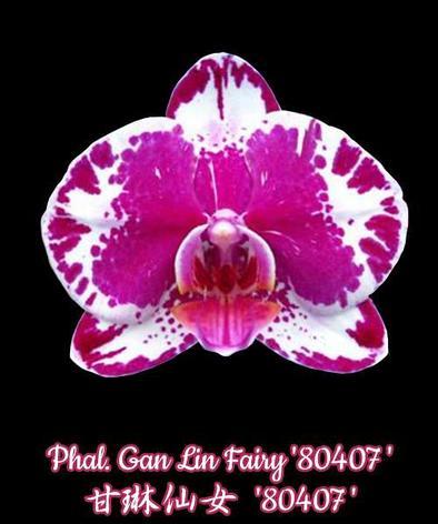 """Орхидея азиатская. Под Заказ! Phal. Gan Lin Fairy """"80407"""". Размер: 1,7""""., фото 2"""