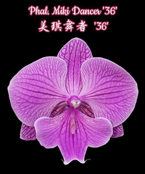 """Орхидея азиатская. Под Заказ! Phal. Miki Dancer """"36"""". Размер: не указан."""