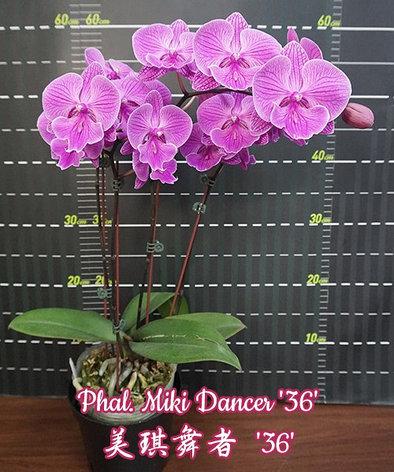 """Орхидея азиатская. Под Заказ! Phal. Miki Dancer """"36"""". Размер: не указан., фото 2"""