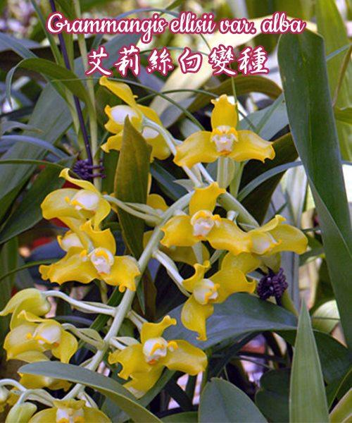 """Орхидея азиатская. Под Заказ! Grammangis ellisii var. alba. Размер: 2,5""""."""
