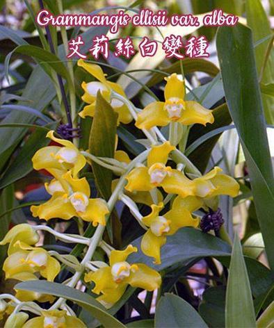 """Орхидея азиатская. Под Заказ! Grammangis ellisii var. alba. Размер: 2,5""""., фото 2"""
