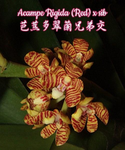 """Орхидея азиатская. Под Заказ! Acampe Rigida (Red) × sib. Размер: 2""""."""