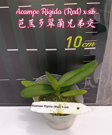 """Орхидея азиатская. Под Заказ! Acampe Rigida (Red) × sib. Размер: 2""""., фото 2"""