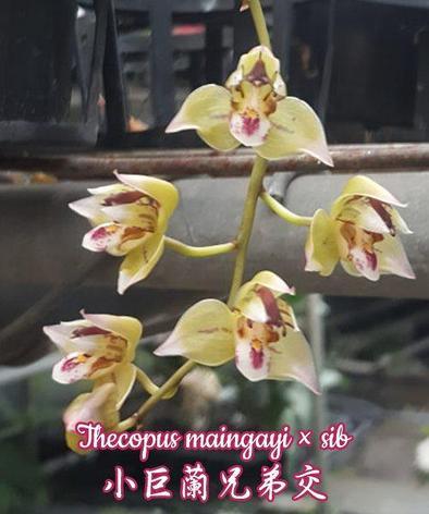 "Орхидея азиатская. Под Заказ! Thecopus maingayi × sib. Размер: 1,7""., фото 2"