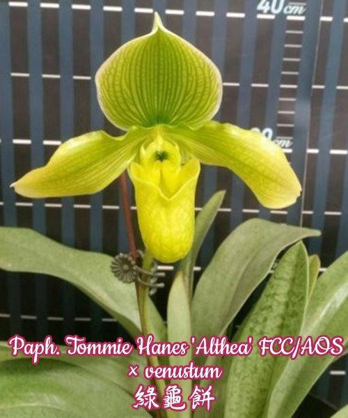 "Орхидея азиатская. Под Заказ! Paph. Tommie Hanes ""Althea"" FCC/AOS × venustum. Размер: 3""."
