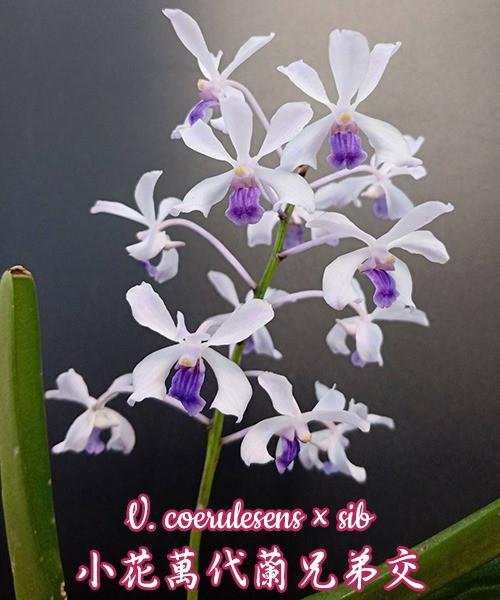 """Орхидея азиатская. Под Заказ! V. coerulesens × sib. Размер: 3""""."""