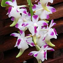 Орхидея Аэридес (Aer.)