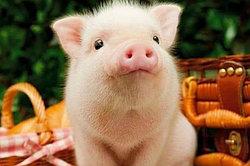 Вакцины для свиней