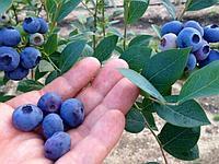 Голубика Блюкроп (5 летние плодоносящие кусты)