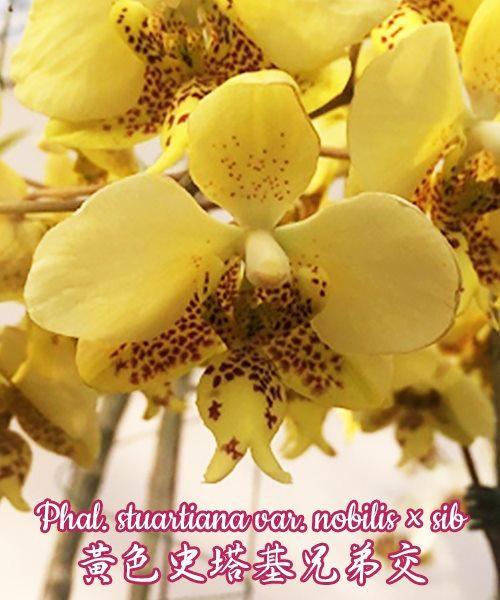 """Орхидея азиатская. Под Заказ! Phal. stuartiana var. nobilis × sib. Размер: 1,5""""."""