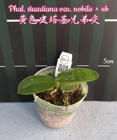 """Орхидея азиатская. Под Заказ! Phal. stuartiana var. nobilis × sib. Размер: 1,5""""., фото 2"""