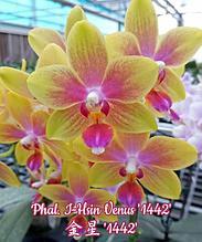 """Орхидея азиатская. Под Заказ! Phal. I-Hsin Venus """"1442"""". Размер: 6.3+см/7.6+см."""