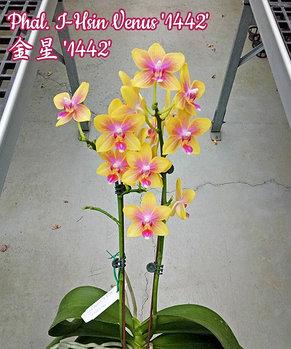 """Орхидея азиатская. Под Заказ! Phal. I-Hsin Venus """"1442"""". Размер: 6.3+см/7.6+см., фото 2"""