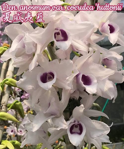 """Орхидея азиатская. Под Заказ! Den. anosmum var. coerulea """"huttonii"""". Размер: 1,7""""."""