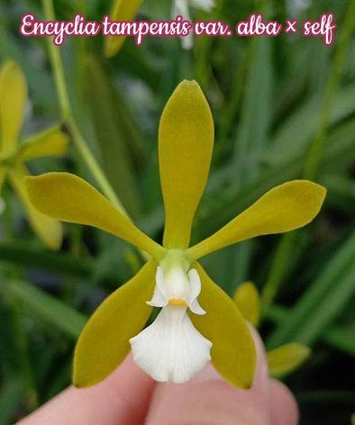 """Орхидея азиатская. Под Заказ! Encyclia tampensis var. alba × self. Размер: 2,5""""., фото 2"""