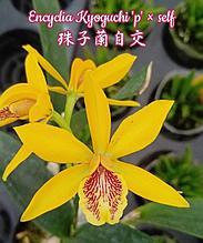 "Орхидея азиатская. Под Заказ! Encyclia Kyoguchi 'p' × self. Размер: 3""."